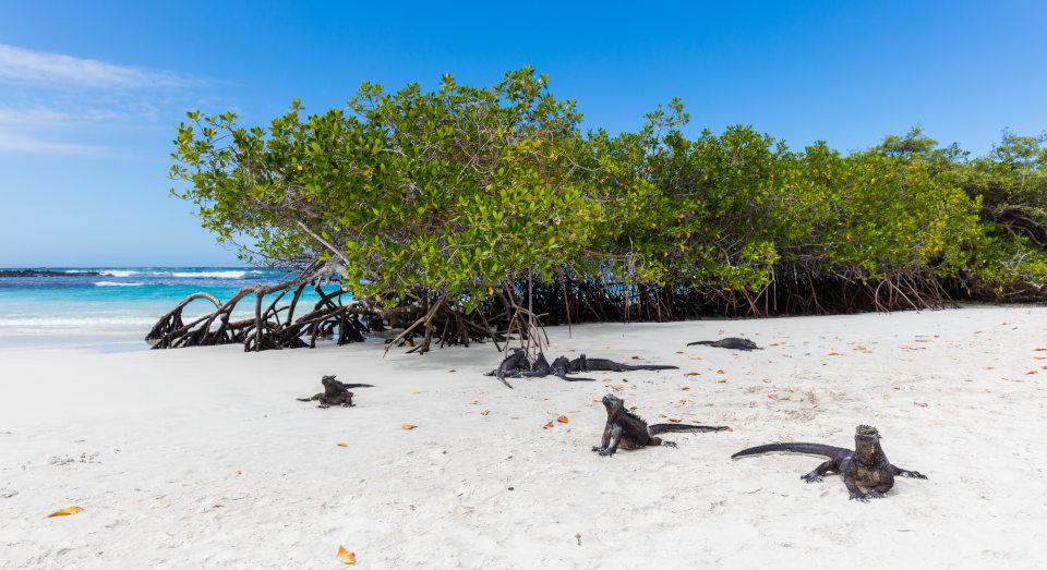 Marine iguanas in Tortuga Bay.