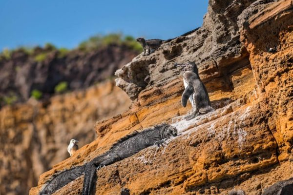 Marine iguana and penguin on a rock.