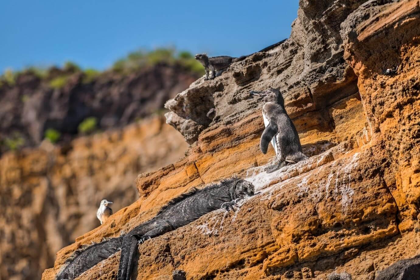 Marine iguana and penguin on a rock.