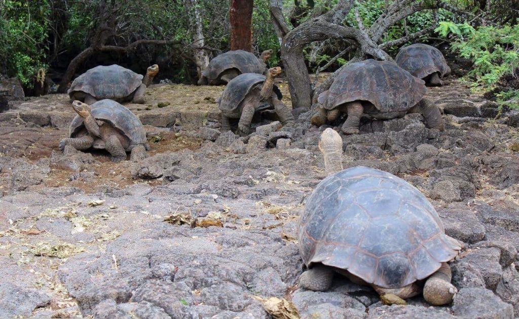 Galapagos animal species: Giant tortoises