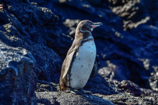Galapagos penguin on a rock.