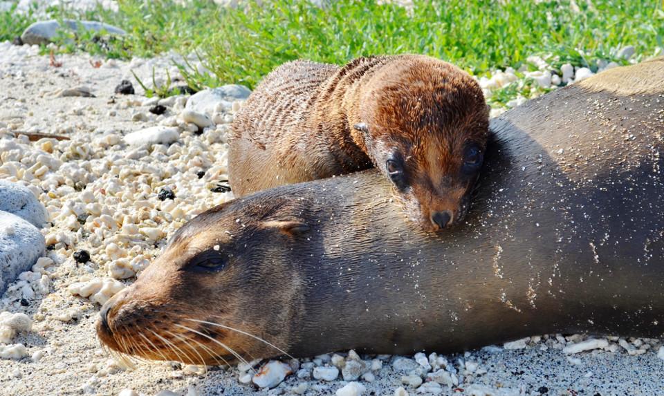 Galapagos mammals: sea lions.