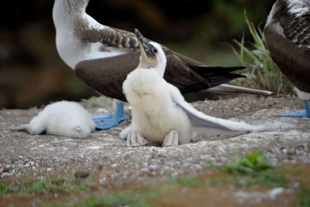 Galapagos birds: Blue-footed boobies