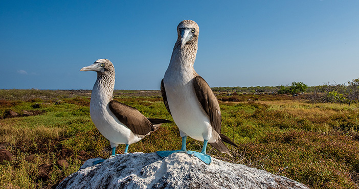 Galapagos Islands endemic animals: blue-footed boobies