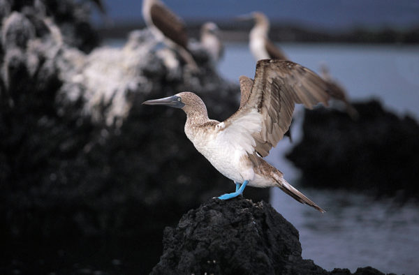 Blue-footed booby displaying its wings.