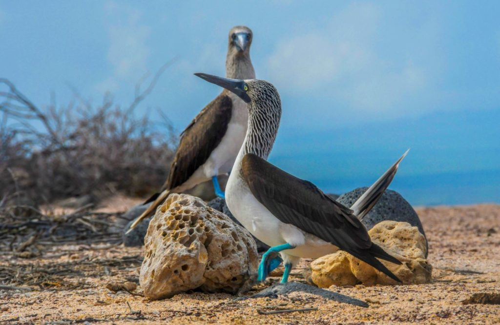 Galapagos blue-footed boobies courtship dance