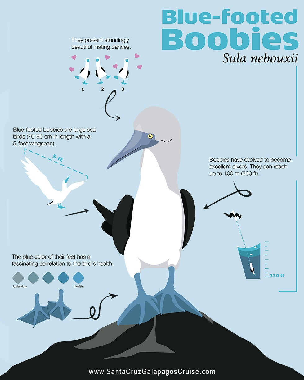 Blue-footed boobies infographic