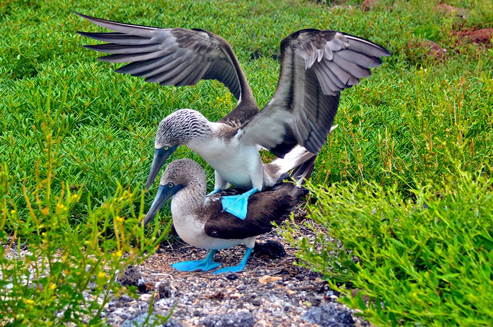 Galapagos blue-footed boobies mating