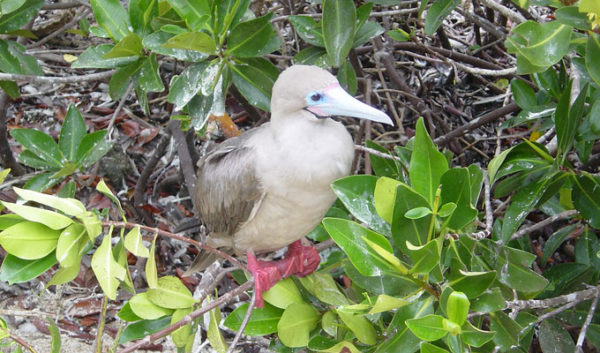 Red-footed booby on a tree.