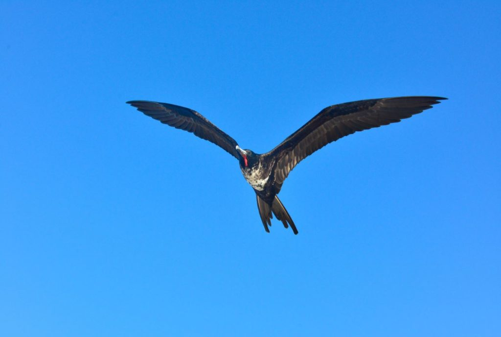 Galapagos islands birds: magnificent frigatebird