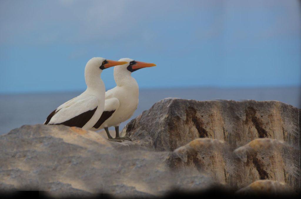 Galapagos islands BIG15 nazca boobies