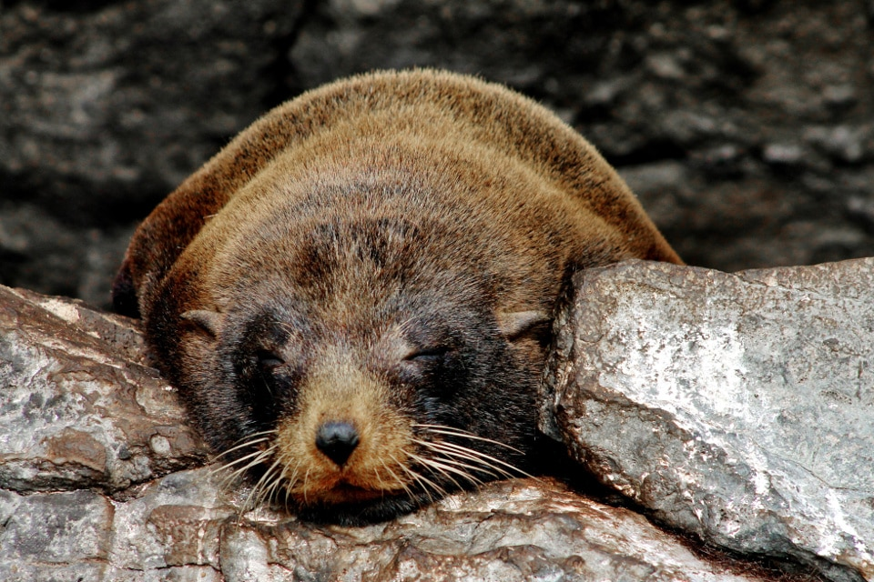 Galapagos fur seal vs sea lion