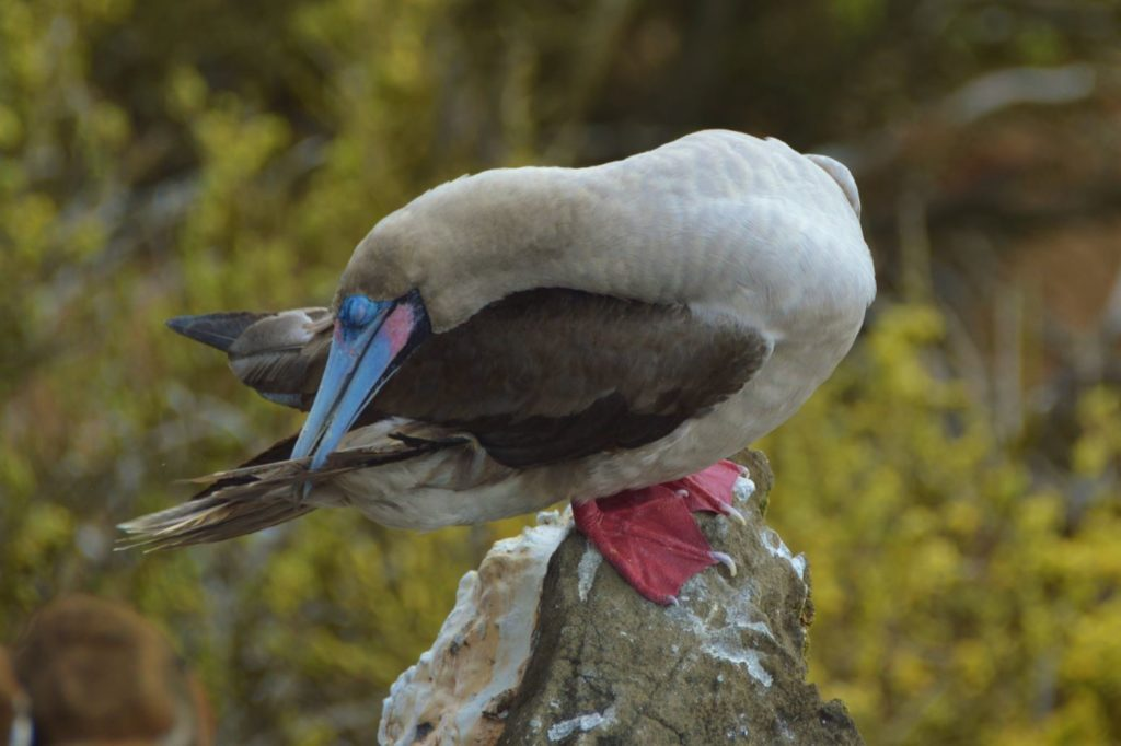 Galapagos birds: red footed boobies