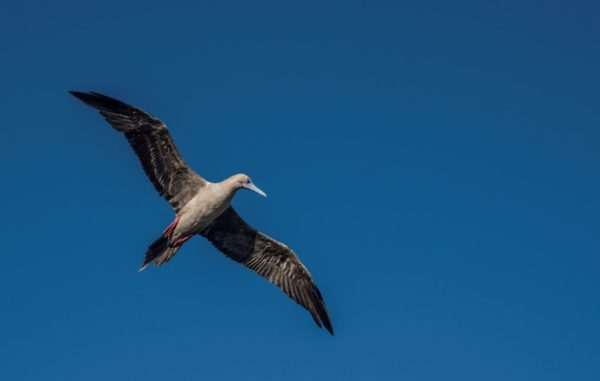 Red-footed booby flying.