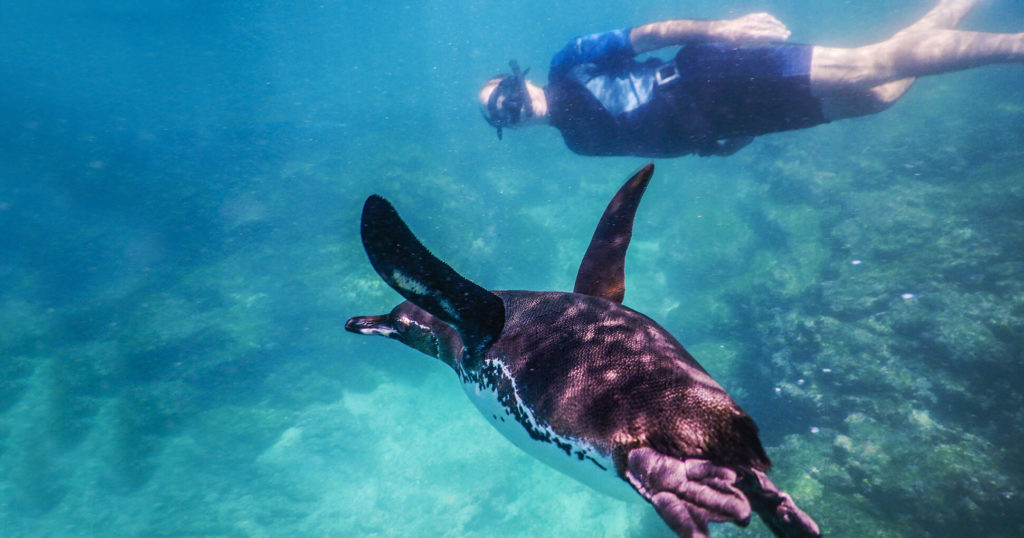Galapagos activities: snorkeling with penguins.