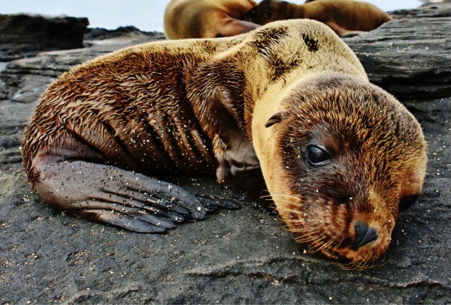 Galapagos fur seals: breeding and mating