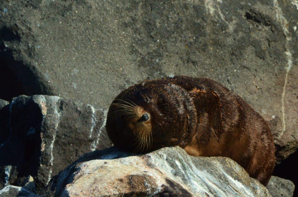 Galapagos animals: fur seals