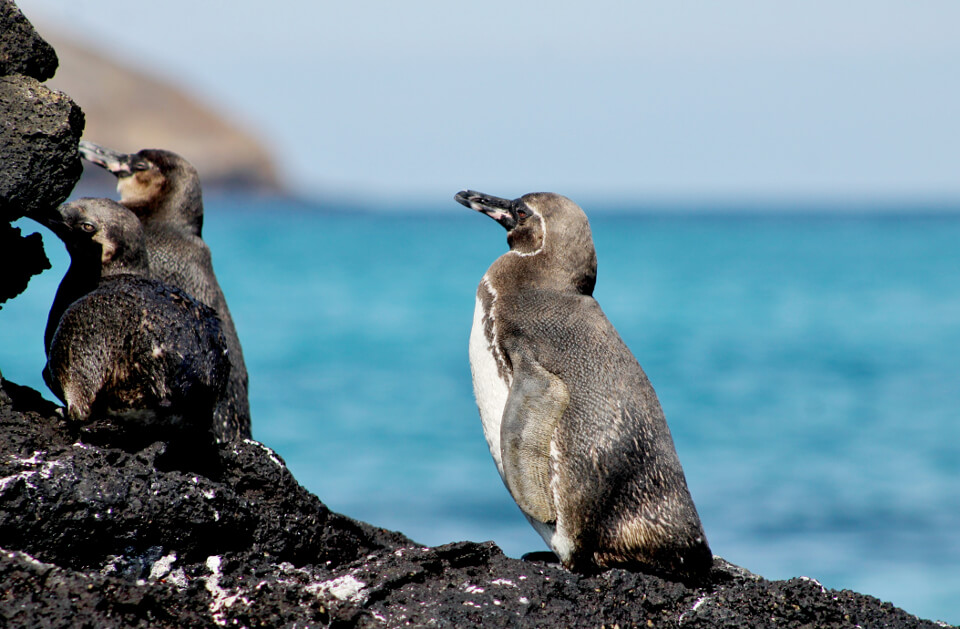 A group of Galapagos penguins on a rock