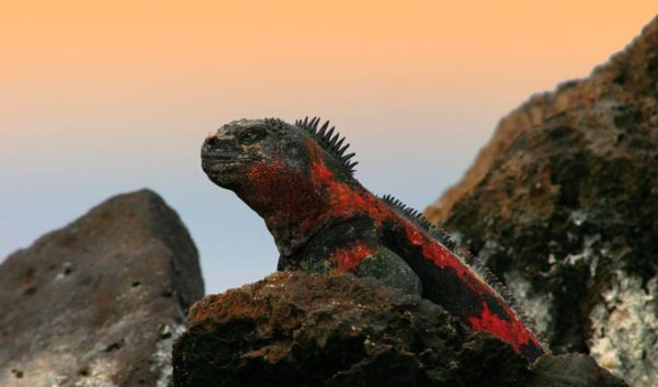Galapagos marine iguana over a rock