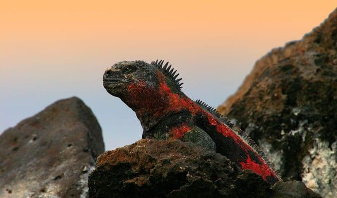 Galapagos marine iguana over a rock