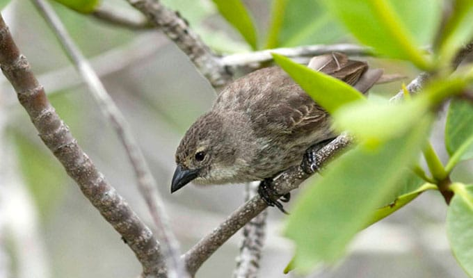 Mangrove finch standing on a twig
