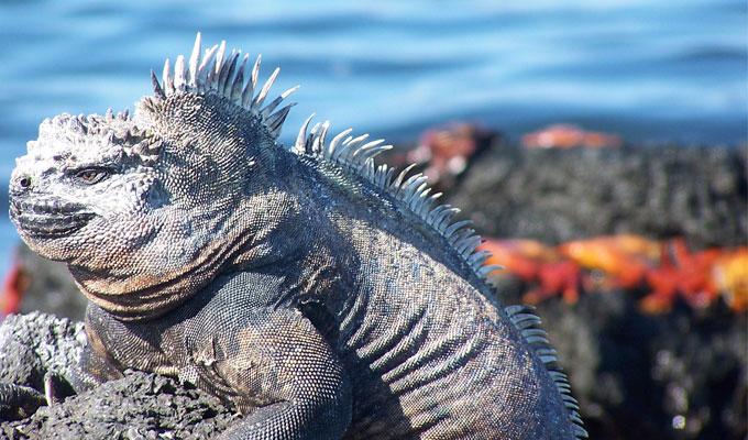 Galapagos iguanas: marine iguana