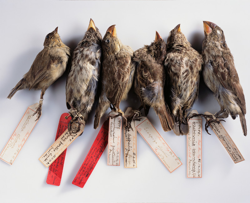 A group of finches from the Galapagos Islands collected by Charles Darwin.