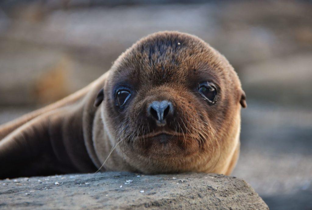 Galapagos endemic animals: fur seals