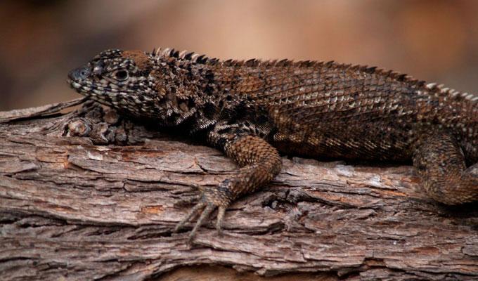 Galapagos reptiles: lava lizards