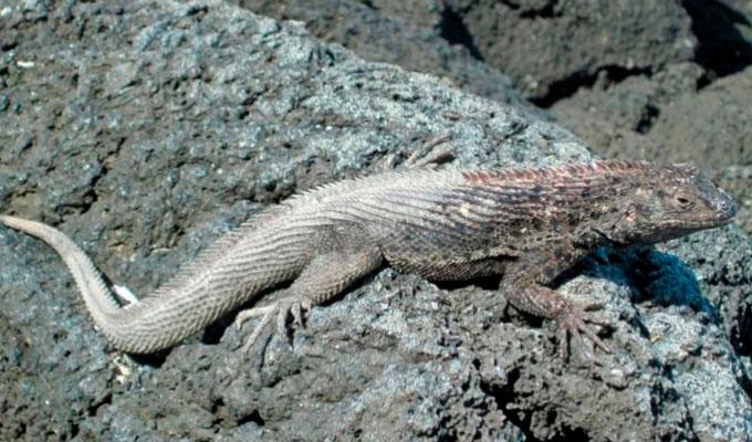 Lava lizards camouflage