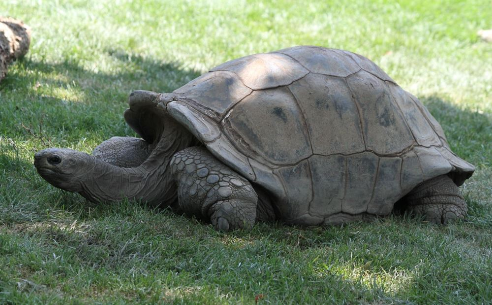 Galapagos giant tortoise species: aldabra