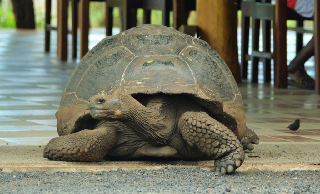 Galapagos animals: giant tortoise