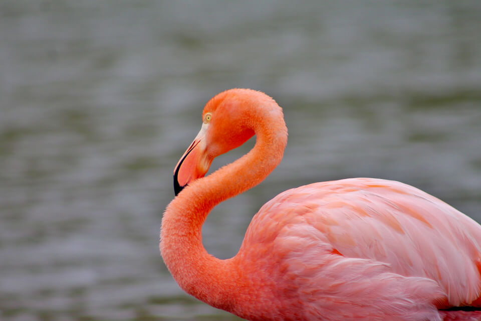 Close up of an american flamingo.