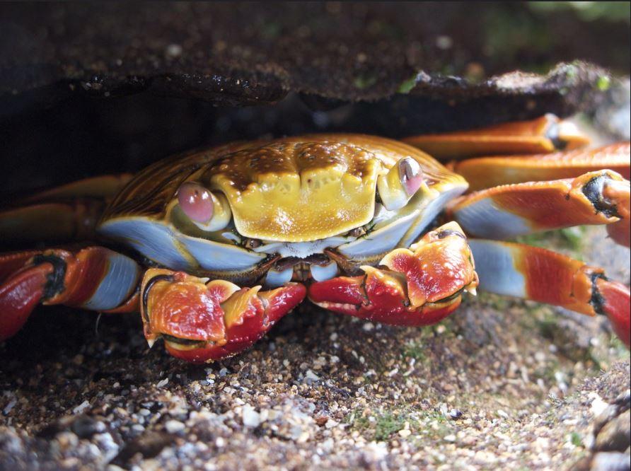 Galapagos crab: Sally lightfoot crab