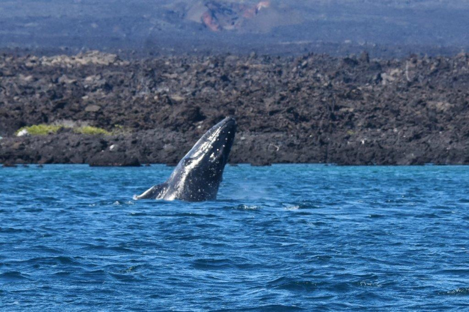 Galapagos whales: humpback whale