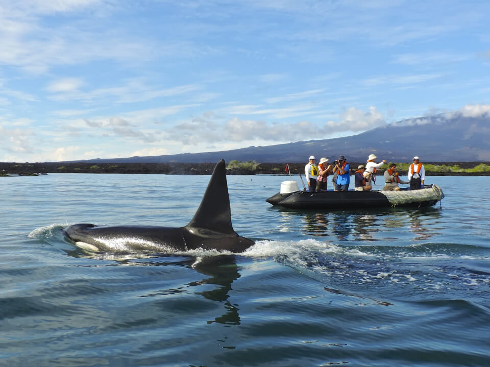 Orca near a panga ride in Galapagos.
