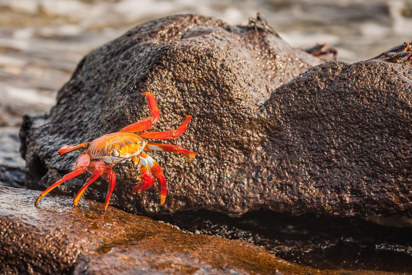 Sally lightfoot crab moving in between rocks.