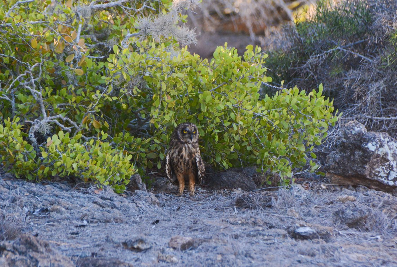 Short eared-owl standing next to a tree.