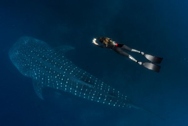 Woman diving with a whale shark in Galapagos.