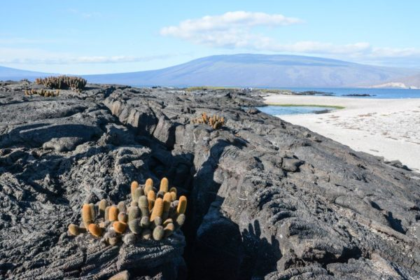 Lava cactus on barren lava flows at Fernandina Island.