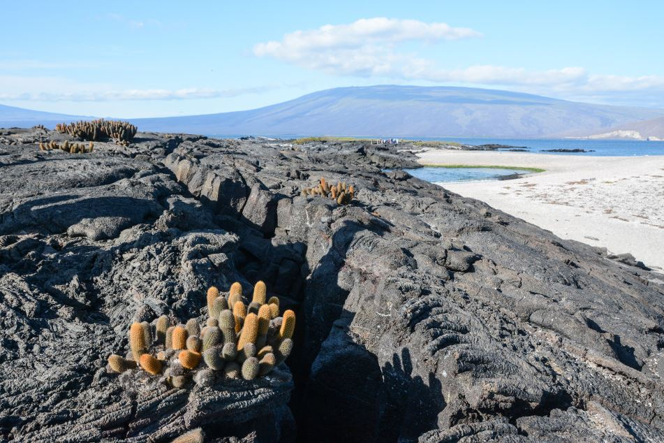 Lava cactus growing on barren lava flows at Fernandina Island.