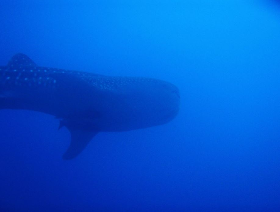 Galapagos animals: whale shark