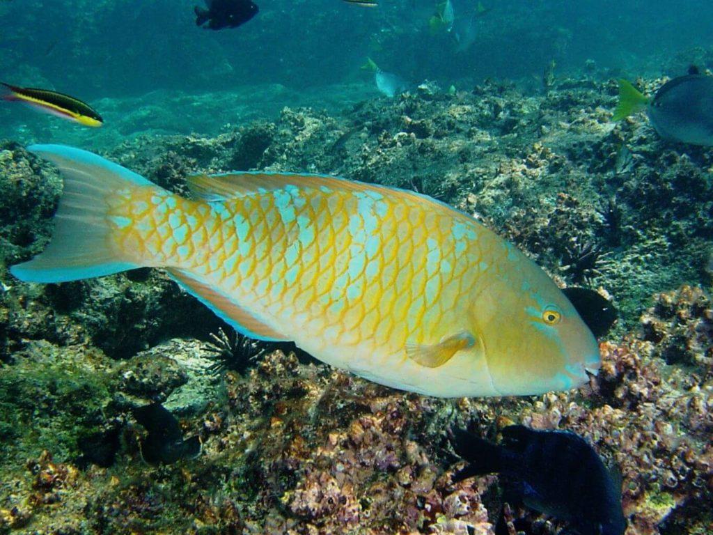 Galapagos fish: blue-chin parrot fish