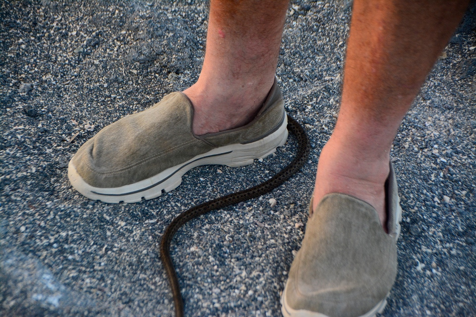 Galapagos snakes: racer snake