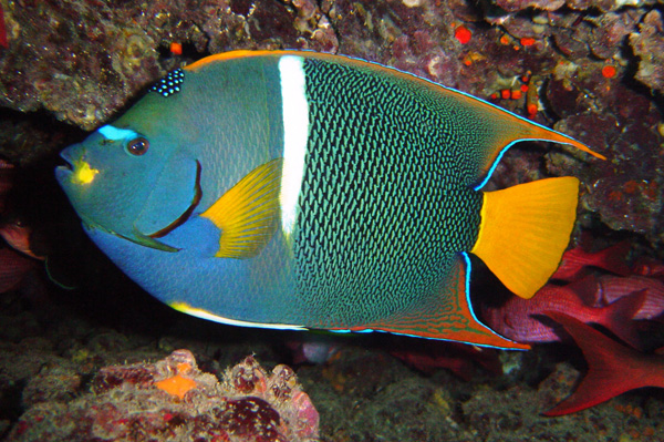 Galapagos fish: King Angelfish