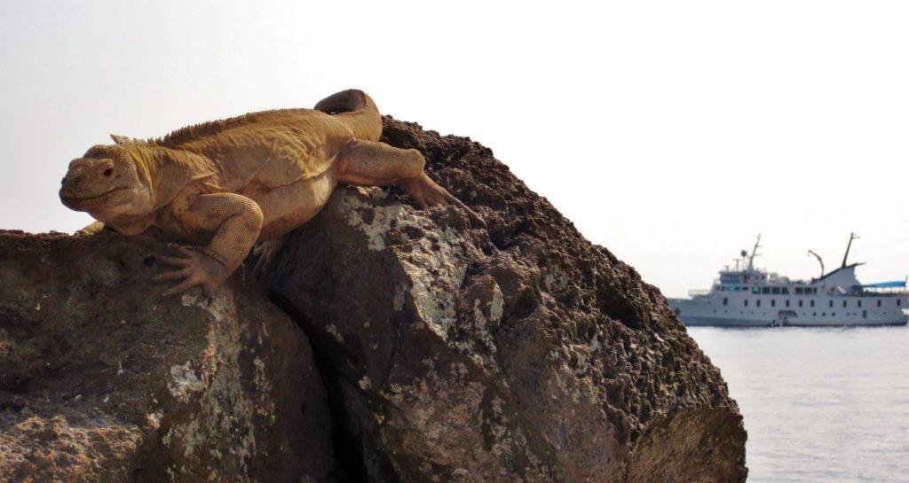 Galapagos iguanas: santa fe iguana