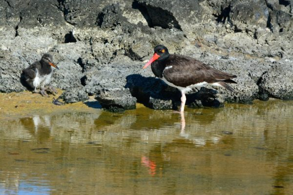 Baby oystercatcher along with another oystercatcher on the shore.