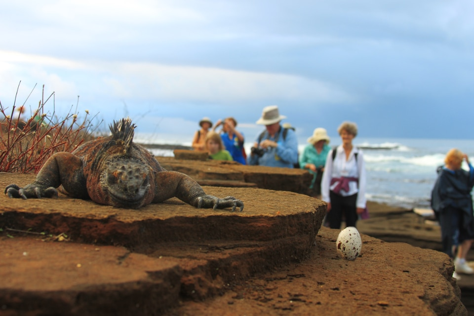 Marine iguana and its egg.