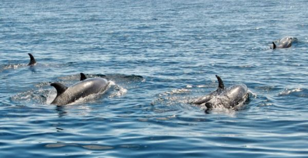 Bottlenose dolphins in Galapagos.