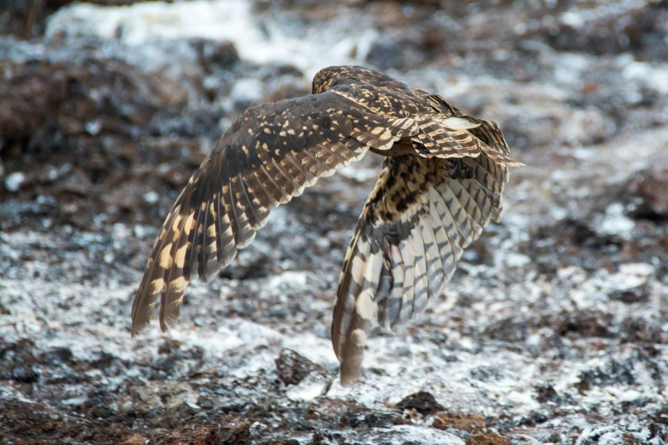 Galapagos short-eared owl flying.